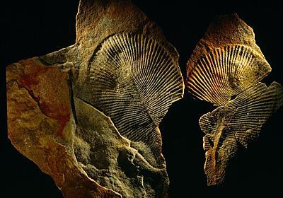 謎の古代生物の正体は「動物」と判明、地球最古級 | ナショナルジオグラフィック日本版サイト