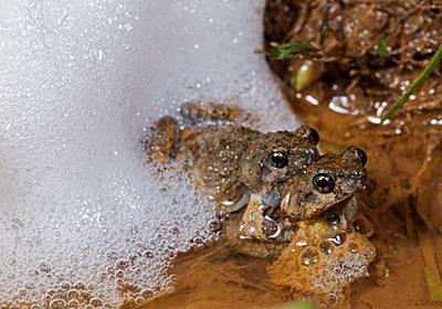 モテないオスにもチャンスあり、カエル研究で判明 | ナショナルジオグラフィック日本版サイト