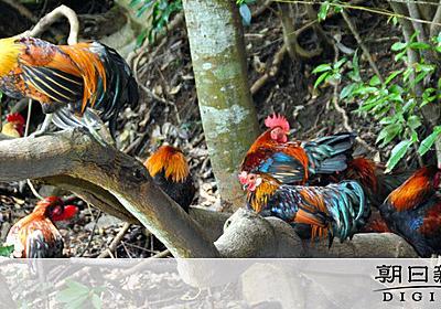 野良ニワトリの大群、国道脇に 「もう捨てないで」:朝日新聞デジタル
