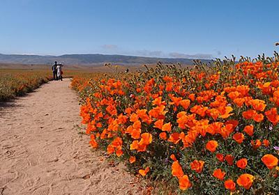 今年のカリフォルニア・ポピーは凄かった! らしいです!! ~Antelope Valley California Poppy reserve - 模型じかけのオレンジ
