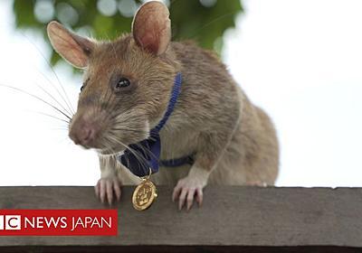 地雷を見つけるネズミに金メダル 救命活動に貢献のお手柄 - BBCニュース