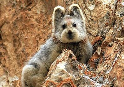 パンダよりかわいいじゃないか。テディベアみたいな新種のウサギ「イリナキウサギ」が20年ぶりに発見される(中国) : カラパイア