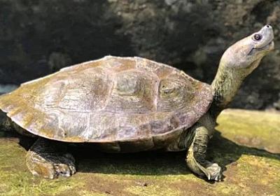 笑顔に見える亀、一度は絶滅したと思われていたが熱心な保護活動で危機を免れる(ミャンマー) : カラパイア