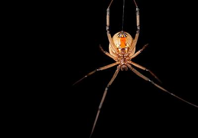 なぜか高齢なメス選ぶオス、クモで判明、利点なし | ナショナルジオグラフィック日本版サイト