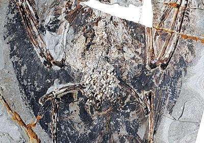 太古の鳥の肺が初めて見つかる、飛行進化のカギ | ナショナルジオグラフィック日本版サイト
