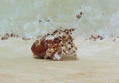 【動画】ヤドカリを真似るイカ、魚が油断か | ナショナルジオグラフィック日本版サイト