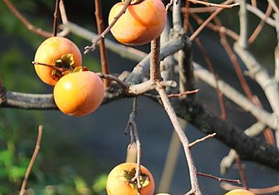庭木の剪定と柿、みかんの収穫 - Ushidama Farm