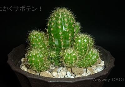 カマエロビビア属Aは断水明けでもすぐ生長するサボテン【3コマgif ダイソー】 - とにかくサボテン!