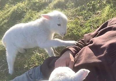 赤ちゃん羊がおねだり「もっとモフって!」(動画):らばQ