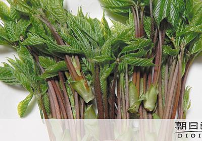 山菜コシアブラ、基準値超える放射性物質 ネットで取引:朝日新聞デジタル
