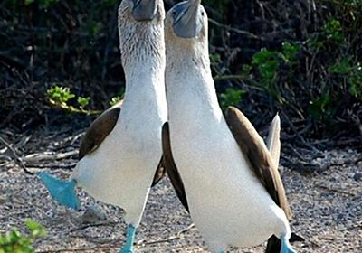 鮮やかな青色の足が相当かわいい「アオアシカツオドリ」 : カラパイア