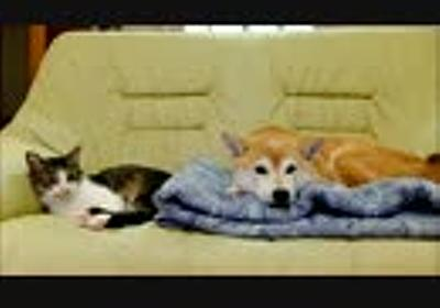朝の柴犬いちごと猫ミルキー 定点撮影5分間