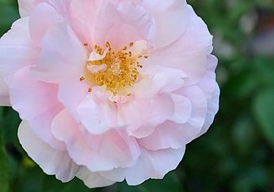 遅咲きバラのランキング - アトリエみも
