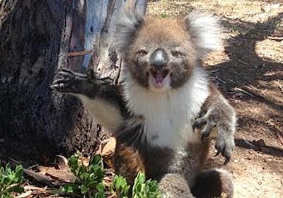 仲間に木から落とされて「あ゛あ゛あ゛あ゛!!」と泣き叫ぶコアラめっちゃ可愛いし、「コアラの声初めて聞いた」「いかつい」貴重映像 - Togetter