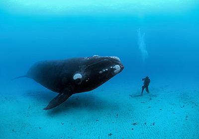 クジラやトドらの大型化、理由を解明、定説覆す | ナショナルジオグラフィック日本版サイト