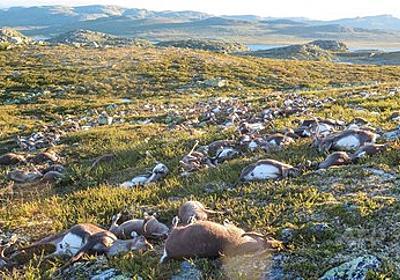 トナカイ300頭以上が落雷で死ぬ、ノルウェー 写真5枚 国際ニュース:AFPBB News