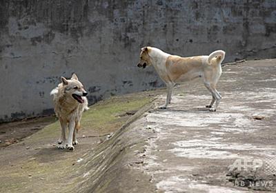 孤独なオオカミ、犬と同居で寂しさ和らぐ 武漢の動物園 写真3枚 国際ニュース:AFPBB News