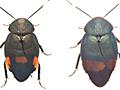 35年ぶりに日本からのゴキブリ新種の発見 - 大学プレスセンター