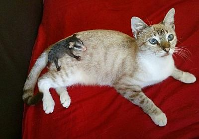 散歩に出かけた猫、背中にオポッサムの赤ちゃんをおんぶして家に連れ帰る(メキシコ) : カラパイア