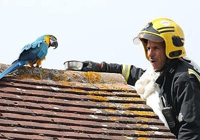 屋根の上から3日も降りてこないインコを助けようとした消防士。なぜかインコに口汚くののしられる(イギリス) : カラパイア