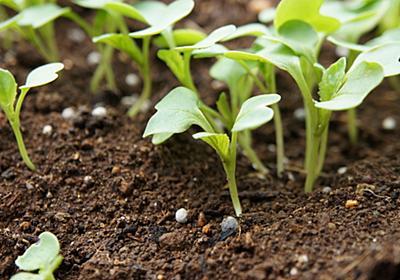 秋まき野菜はいつ種をまけばいいのか・10月14日にまいた種の芽が出てきた。 - シロッコ手習鑑