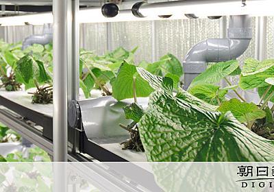 工場ワサビ、評判上々 樹脂メーカーが栽培システム開発:朝日新聞デジタル