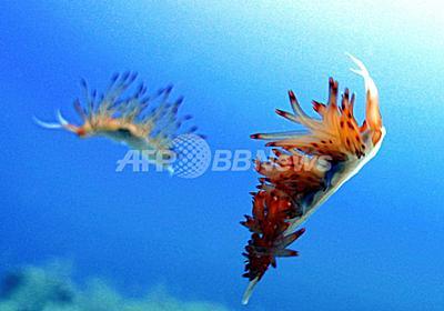 生殖器を使い捨て、再生させて交尾 ウミウシ驚きの生態 写真1枚 国際ニュース:AFPBB News