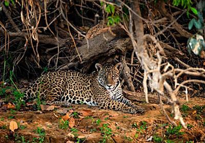 ジャガーの毒殺が横行か、ブラジルで事件発覚、初の捜査へ
