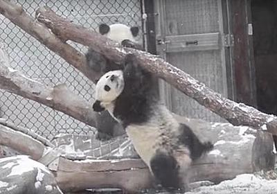 パンダの落下シーンを集めただけなのに「絶対に萌え死ぬ」動画 / かわいすぎるため取り扱い注意 | ロケットニュース24