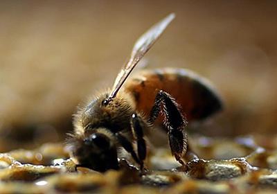 CNN.co.jp : ミツバチ、訓練すれば足し算引き算できます 豪研究
