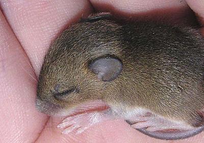 「マウスを強制的に冬眠させる」実験に成功、人間の人工冬眠実現に一歩前進 - GIGAZINE