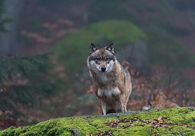 チェルノブイリのオオカミ 周囲に与える影響は | ナショナルジオグラフィック日本版サイト