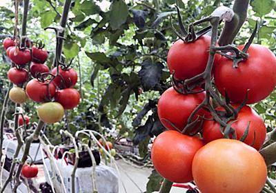 トマト栽培を10年で黒字化、カゴメの未来工場:日経ビジネスオンライン