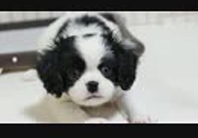 【マンチカンズ】犬に初めて会った猫一家の反応
