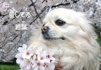 突然旅立ってしまった愛犬若葉…寄り添う心…ずっとずっといっしょ | TOMOIKUロハス生活で丁寧な暮らしを!