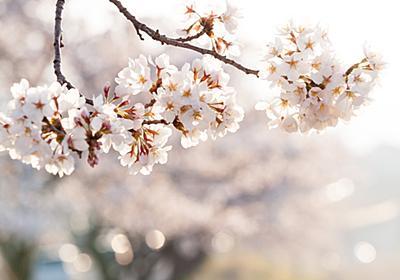 フリー写真素材:キラキラしている朝の桜