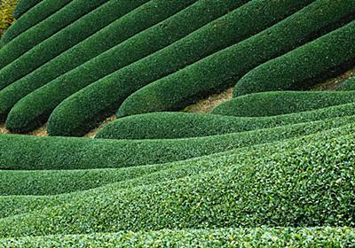 緑茶・ウーロン茶・紅茶は全て同じ葉っぱなの?カフェインの話も。 - ふらはな