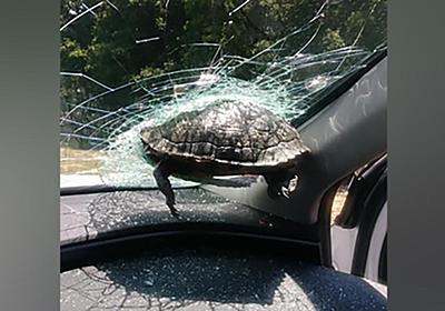 CNN.co.jp : 飛んできたカメ、走行車のフロントガラスに突き刺さる 米高速道路