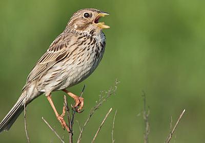 新型コロナによって「鳥の歌」に変化が生じている - GIGAZINE