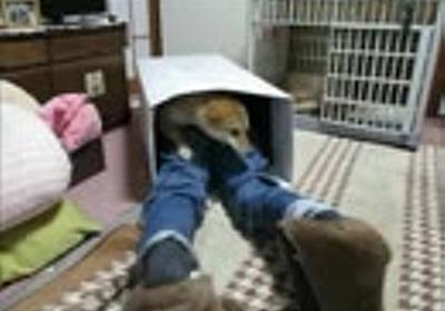箱大好き、柴犬ゆず!(16年7月6日)