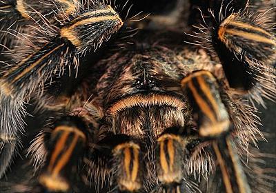 ペットとしての蜘蛛 : タランチュラ飼育の概要 床材や飼育容器・餌について! - ムシクイアナ
