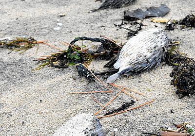 砂浜に下りて「ギャー!」 海岸に大量のハリセンボン:朝日新聞デジタル