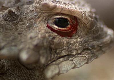 【動画】血の涙で攻撃! ツノトカゲ、驚異の護身術 | ナショナルジオグラフィック日本版サイト