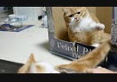 【マンチカンズ】息子の尻尾にじゃれるパパ猫