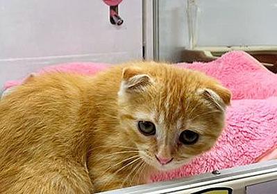 人気の「折れ耳」スコティッシュは遺伝性疾患 猫が苦しむ恐れ自覚を:朝日新聞デジタル