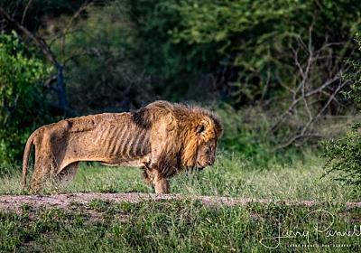 天命を全うし、自然に帰っていく。年老いてやせこけた一頭のオスライオンが最期を迎える時 : カラパイア