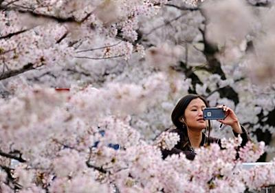 The art and science of Japan's cherry blossom forecast - Channel NewsAsia