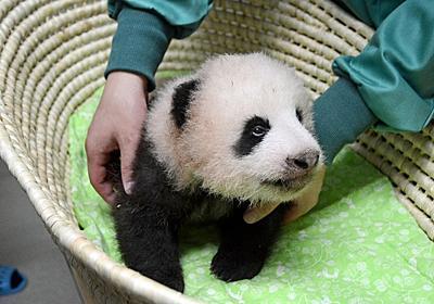 上野動物園:パンダ赤ちゃん、体長47.9センチ - 毎日新聞