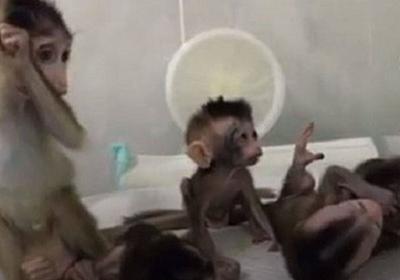 """中国でクローン技術による猿が誕生、""""非常に残酷""""だとして批判も浴びる – Switch News(スウィッチ・ニュース)"""