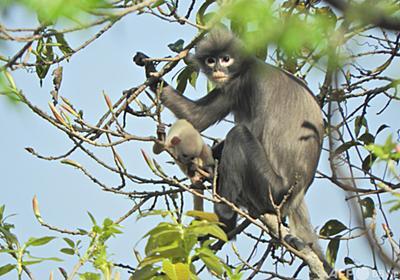 新種のサル発見 すでに絶滅の危機か ミャンマー 写真2枚 国際ニュース:AFPBB News